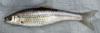 Hon-moroko, Honmoroko Gnathopogon caerulescens