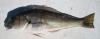 Hubbs TilefishCaulolatilus hubbsi