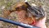 Long-spined Sea Scorpion Taurulus bubalis