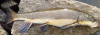 Largescale Sucker Catostomus macrocheilus