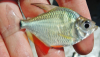 Tetragonopterus argenteus Mojarrita