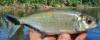Brycon melanopterus Black-finned Brycon
