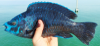 Scarus coelestinus Midnight Parrotfish