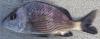 Mojarra Grunt - Haemulon scudderi