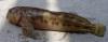 Molly Miller Blenny Scartella cristata
