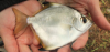 Monodactylus argenteus Silver Moonfish