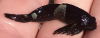Mosshead Sculpin Clinocottus globiceps