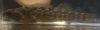 Mud darter, Etheostoma asprigene