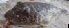 Sphoeroides rosenblatti Oval Puffer