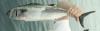 Pacific Bonito Sarda lineolata
