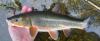 Tribolodon brandtii Pacific Redfin