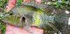 Herichthys pantostictus Chairel Cichlid