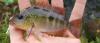 Criboheros alfari Pastel Cichlid