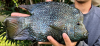 Herichthys carpintis Lowland or Pearl Scale Cichlid