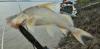 Peruvian Whiskered Catfish Duopalatinus peruanus