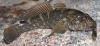 Pinchuk's Goby Ponticola cephalargoides