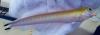 Quakerfish, Malacanthus brevirostris