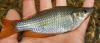 Rainbowfish, Eastern, Melanotaenia splendida