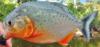 Red-bellied Piranha Pygocentrus nattereri