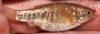 Cyprinodon rubrofluviatilis Red River Pupfish