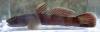 ruri-yoshinobori, Rhinogobius mizunoi