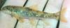 Rustyside Sucker, Thoburnia hamiltoni