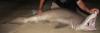 Sand Tiger Shark Carcharias taurus