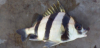 Anisotremus dovii Spotted Head Sargo