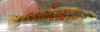 Etheostoma fricksium Savannah Darter