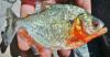 Serrasalmus sanchezi Sharp-Snouted Piranha