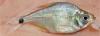 Ctenobrycon hauxwellianus Hauxwell Tetra