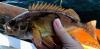 Sebastes hopkinsi Squarespot Rockfish