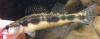 Stripeback Darter, Percina notogramma