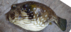 Stripebelly Puffer Arothron stellatus