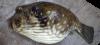 Stripebelly Puffer Arothron stellatus