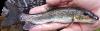 Summer Sucker, Catostomus utawana