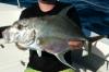 Carangoides otrynter Threadfin Jack