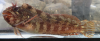 Tompot Blenny, Parablennius gattorugine