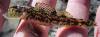Etheostoma inscriptum Turquoise Darter