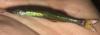 Waccamaw Silverside Menidia extensa