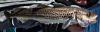 Walleye Pollock Gadus chalcogrammus