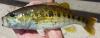 Warrior Bass Micropterus warriorensis