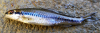 Whitemouth Shiner Notropis alborus