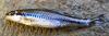 Whitemouth Shiner Notropis alborus