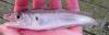 Whiting, Merlangius merlangus