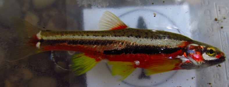 Tennessee Dace, Phoxinus tennesseensis