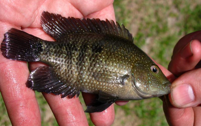 Texas Cichlid, Herichthys cyanoguttatus