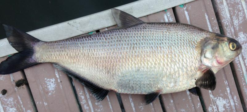 how to catch gizzard shad
