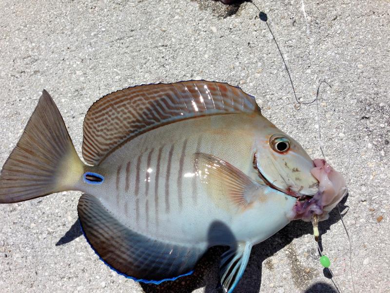 Doctorfish - photo#11