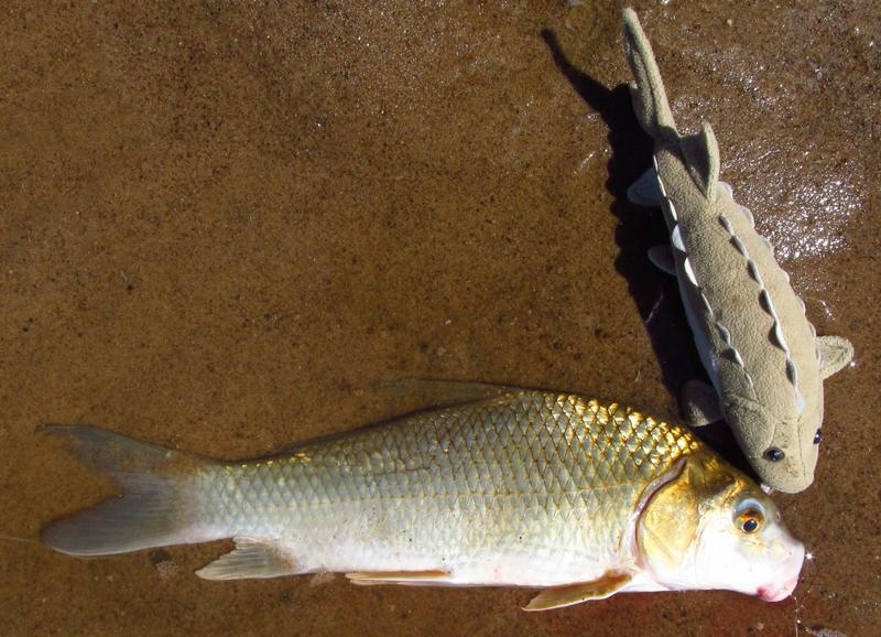 Carpsucker, Quillback Roughie   roughfish.com